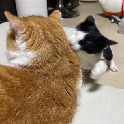 ヤンチャな子猫と優しい大猫