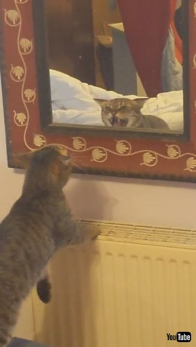 「Kitty Spots Trouble in Mirror || ViralHog」
