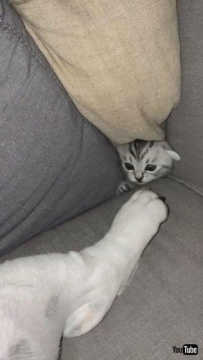 「Kitten Provokes Sleeping Bulldog From Secret Hiding Spot    ViralHogg」