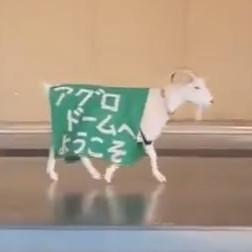 マザー牧場のヤギさん