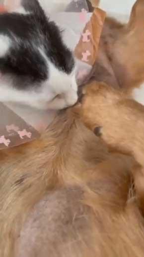 子猫 なつく おじいワンコ 乳を吸われる 犬