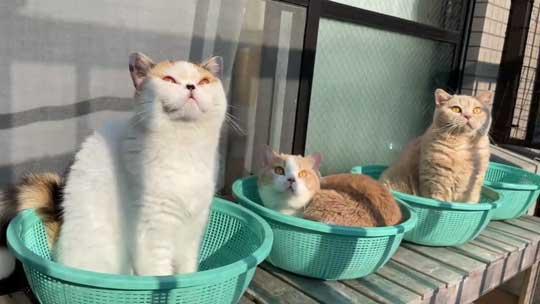 猫 ベランダ カゴ並べたら入ってた ブリティッシュショートヘア