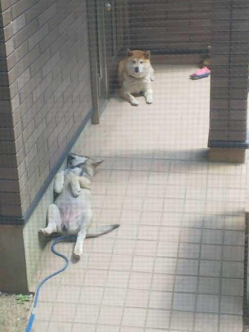 くつろぐ 保護犬 先住犬 困惑 迷い犬