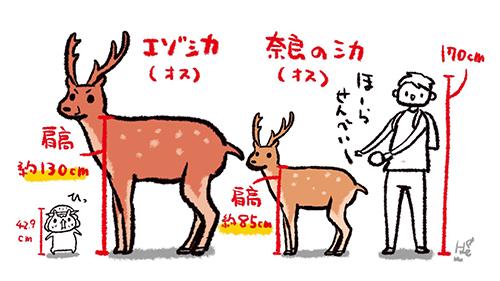 エゾシカと奈良のシカの違い