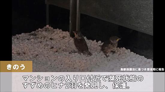 保護したスズメ2羽