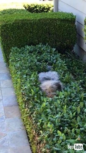 Hides Inside Bushes