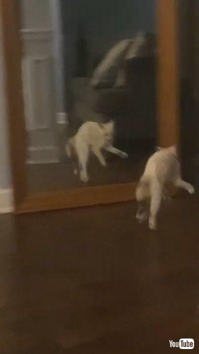 「Adorable Snowshoe Kitten Doesn't Like Her Reflection || ViralHog」