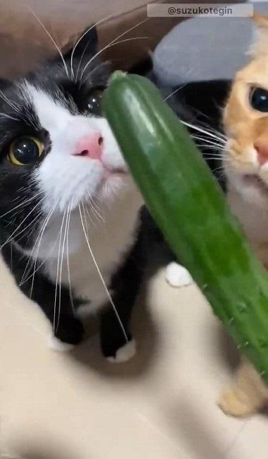 きゅうり初収穫を祝う猫ちゃんたち