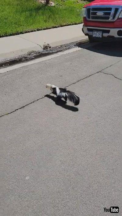 「Skunk's Lucky Day    ViralHog」