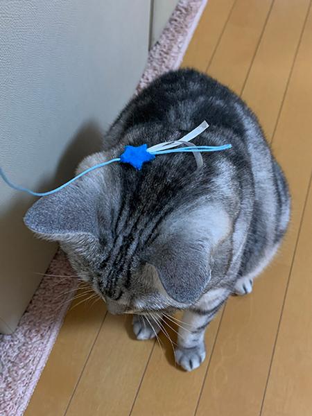 猫じゃらしを見失うサスケくん