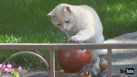 「Cat Plays With Water From Fountain By Placing Their Paw On Top Of It - 1180400」