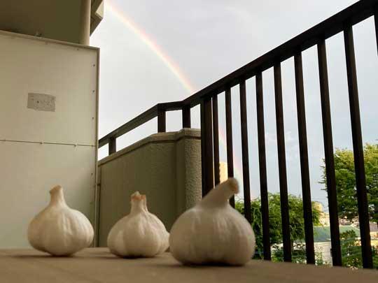 にんにく 虹を眺めている素材 写真