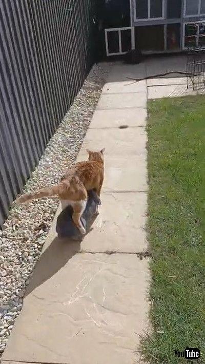 「Bunny Follows Kitty Like a Shadow    ViralHog」