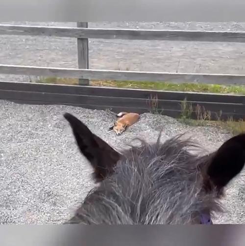 馬場のキツネさん