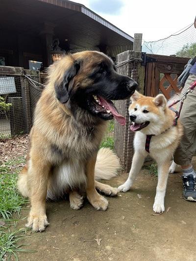 レオンベルガーと秋田犬