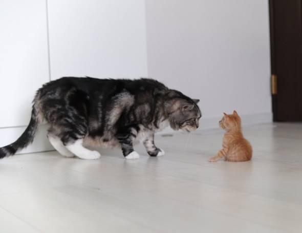 猫 アンモニャイト 手のひらサイズ とんかつちゃん