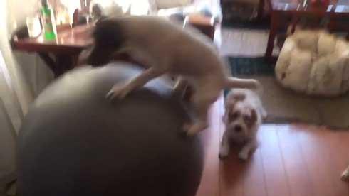バランスボール 乗る 犬 ドッグ パルクール