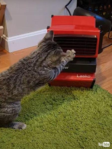 扇風機にケンカを売る猫ちゃん