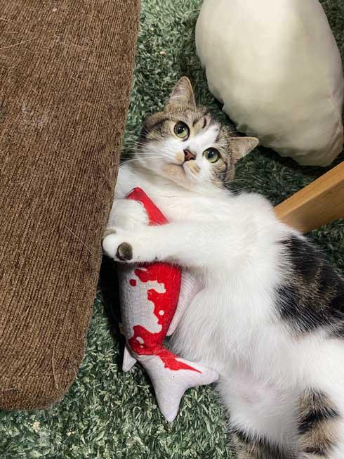 猫 とろ おにく スコティッシュフォールド マンチカン