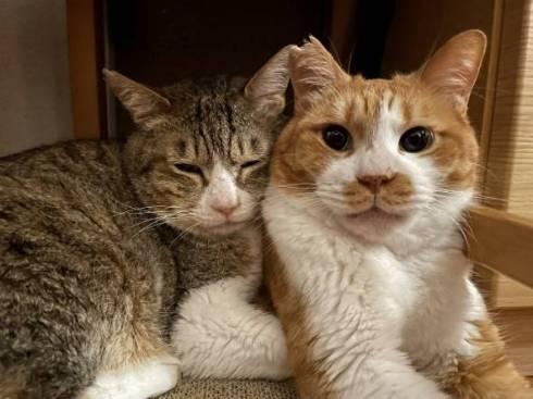 ファラオ猫 マナ君 ちゃしろお兄ちゃん