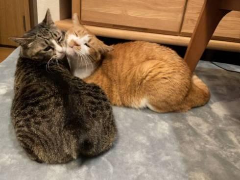ファラオ猫 ちゃしろお兄ちゃん