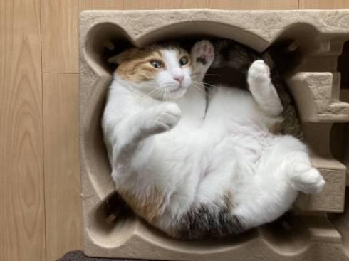 猫 縞三毛 ボナベントゥラ ぼなさん やっとくから