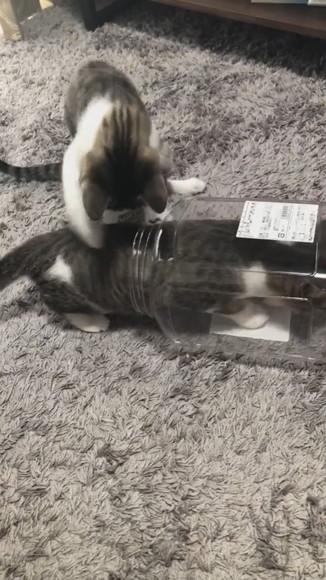 おかきの箱に入っちゃったわらびちゃん