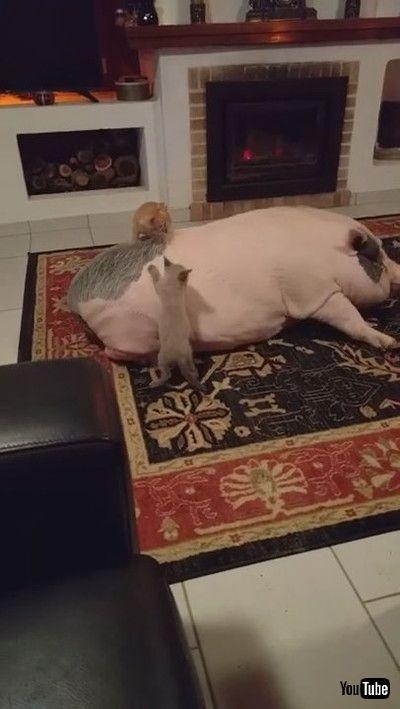 「Rambunctious Kitties Play on a Pig || ViralHog」