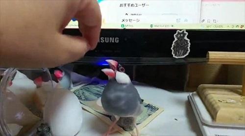 お金を奪う文鳥