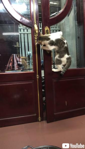 飼い主さんのためにドアを開けてあげる猫