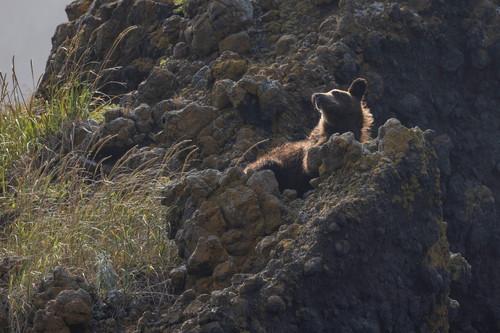 北海道のクマ