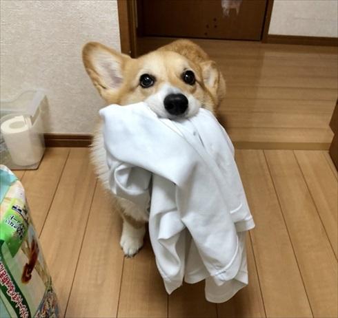 シャツを運ぶコーギーちゃん