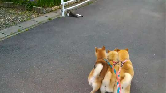 柴犬 親子 散歩 リード 産業革命