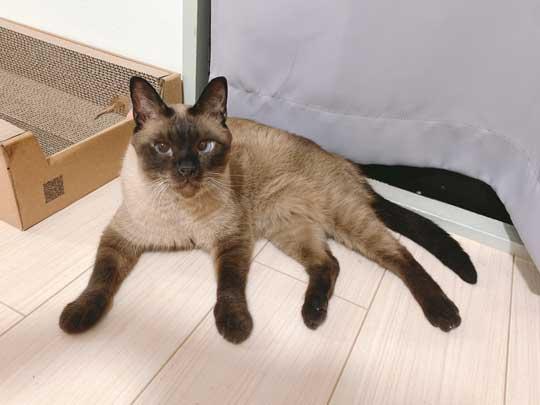 セミファイナル シャム猫 あずきさん 保護猫 漫画