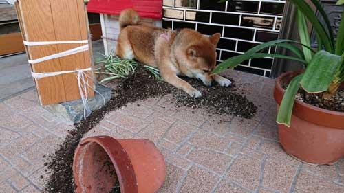 柴犬 植木鉢 ひっくり返した 隠す