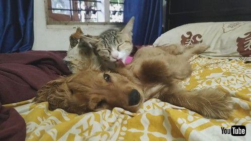 「Caring Kitten Grooms Lazy Puppy Pal    ViralHog」