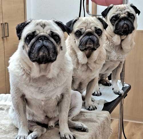 まとめ洗い 乾燥 パグ カメラ目線 3匹 家族