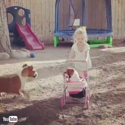 「Boxer Puppies Play with Stroller || ViralHog」