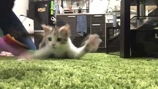 子猫 バタバタ 走る 猫じゃらし ニャルガクルガ