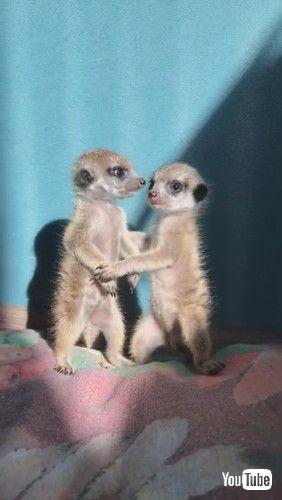 「Miniature Meerkat Babies || ViralHog」