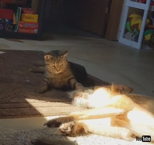 「Pet Dog Gets Hit by House Cat While Sleeping Peacefully - 1217576」