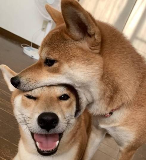 柴犬 ぱくりっ ひまりちゃん はると君 6柴