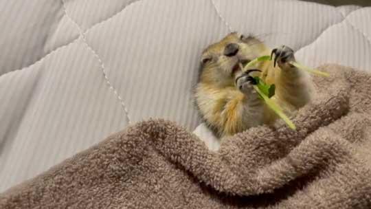 リチャードソンジリス 寝ながら 豆苗 食べる