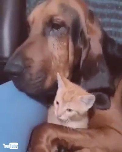 「Bloodhound Doesn't Want to Stop Cuddling Kitten    ViralHogg」