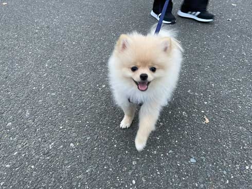 犬 散歩 ワクワク 二足歩行 ポメラニアン
