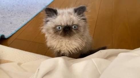 子猫 眠そう 麦ちゃん