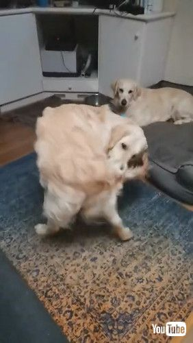 「Goofy Doggy Takes Tail Tussle to Bed    ViralHog」