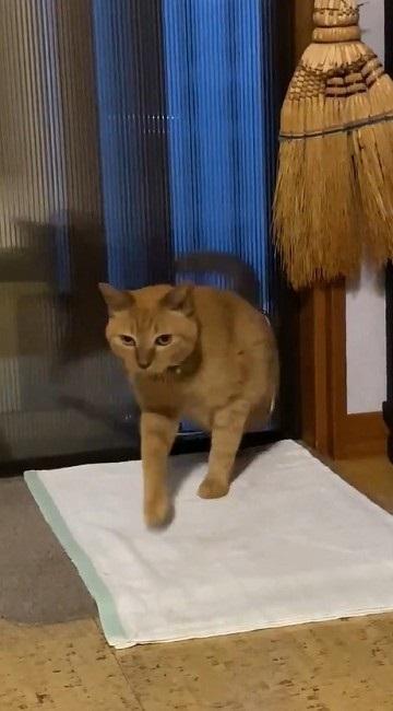 猫扉の使い方を間違っている猫ちゃん