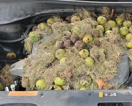 胡桃 木の実 リス クルマ ボンネット