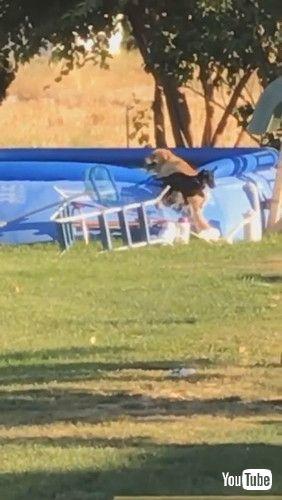 「Dog Saves Puppy Pal From Pool || ViralHog」